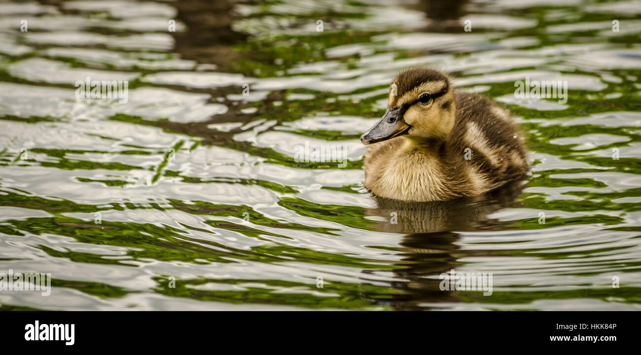 duckling - Stock Image