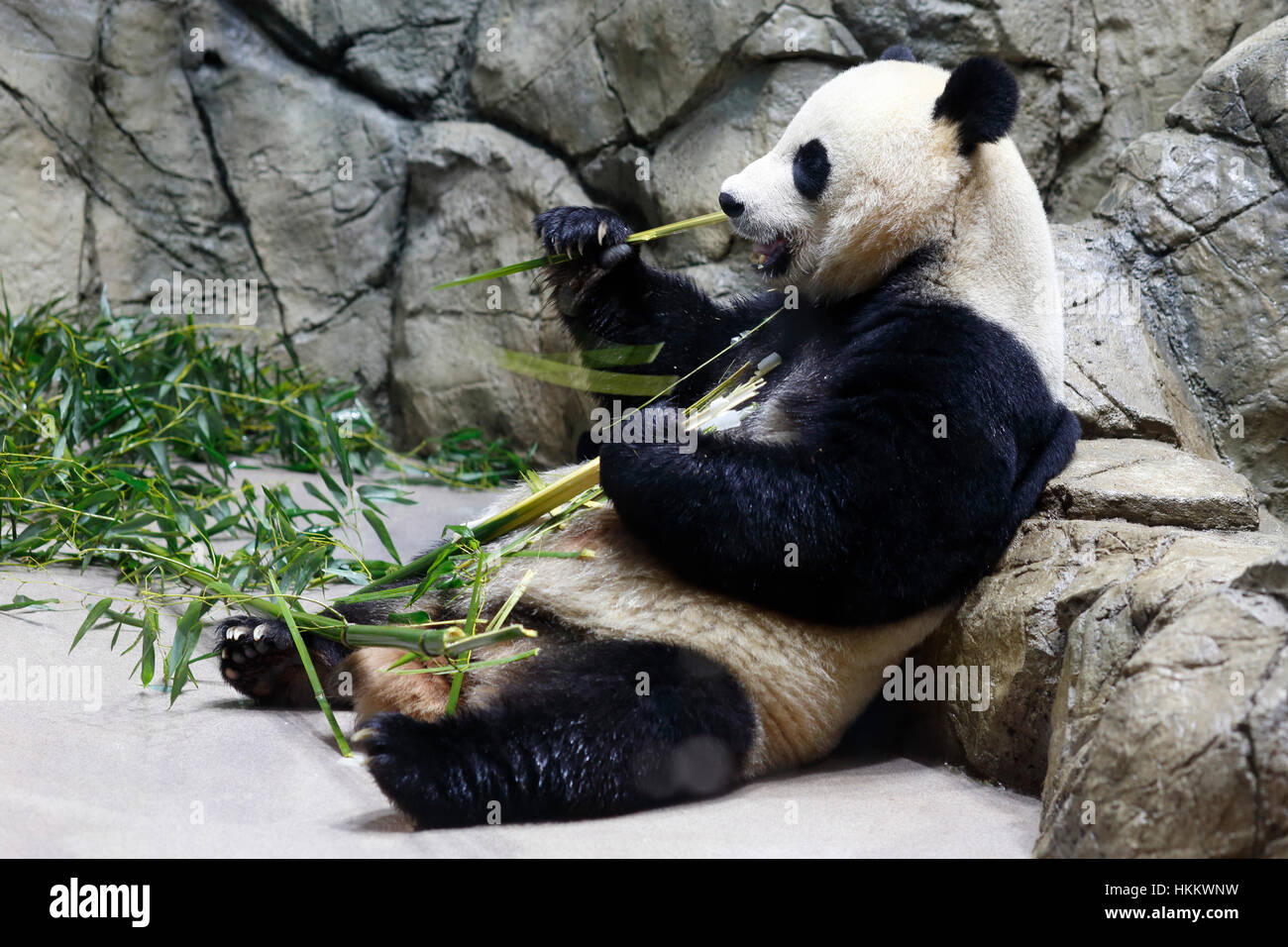 A giant panda reclining on a rock eating bamboo - Stock Image
