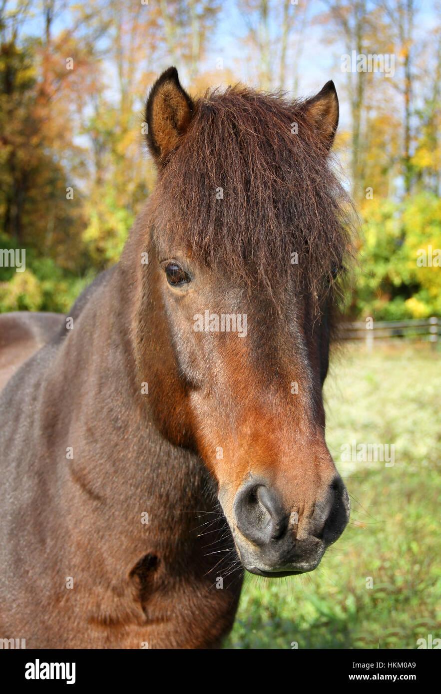 A proud Icelandic horse stallion in the autumn pasture - Stock Image
