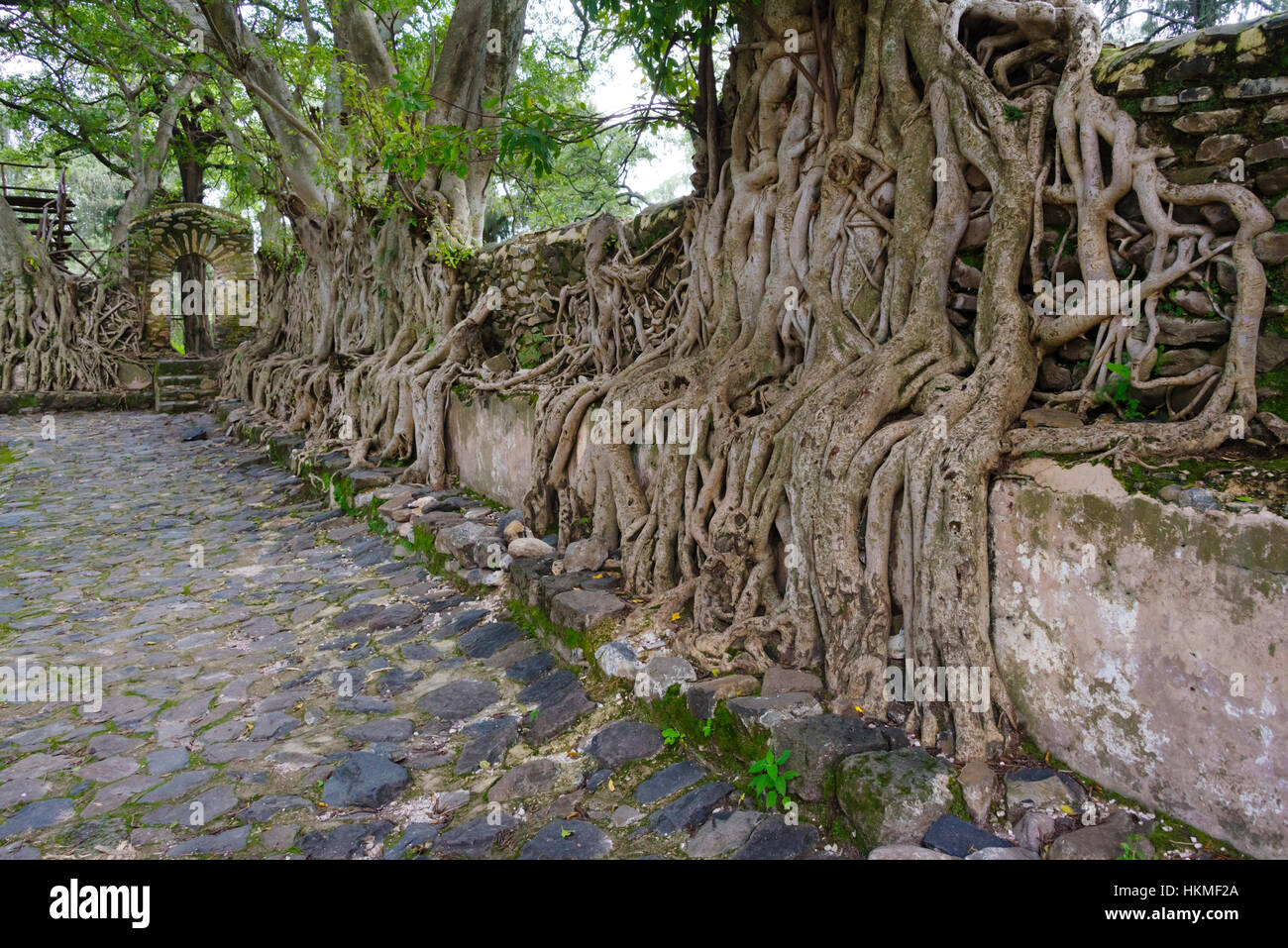 Banyan tree root taking over the ruins in Fasil Ghebbi (founded by Emperor Fasilides), UNESCO World Heritage site, - Stock Image