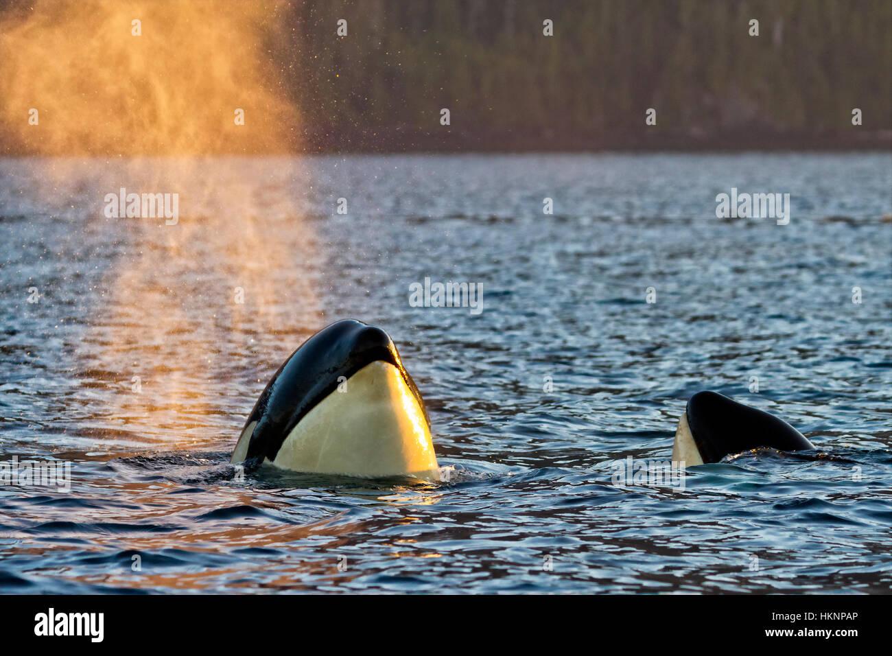 Resident killer whale spy hopping in Johnstone Strait, British Columbia, Canada - Stock Image