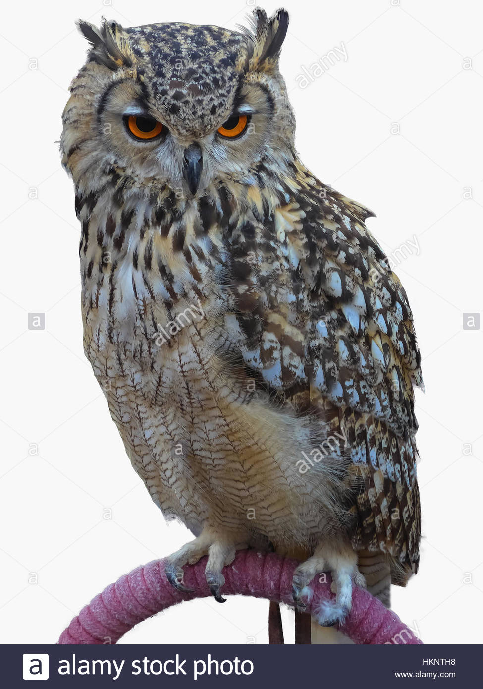 A big royal owl isolated on whte background. - Stock Image