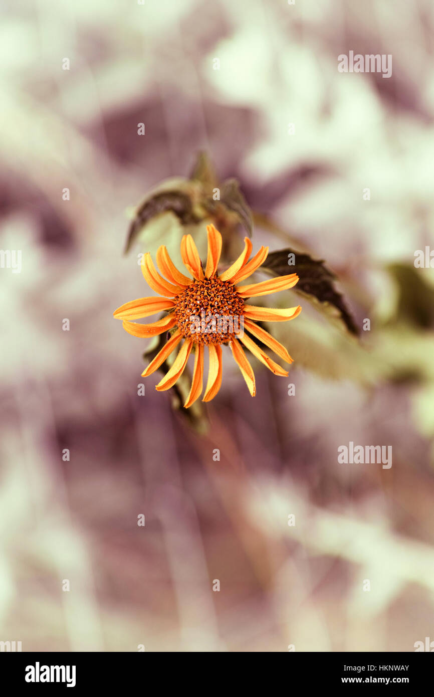 Fading yellow chamomile flower. Close-up. - Stock Image