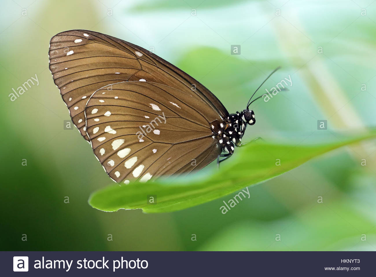 A Spotted black crow butterfly resting on a green leaf. - Stock Image