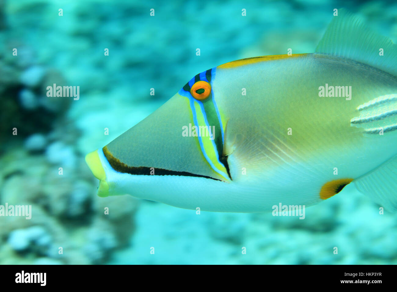 Picasso triggerfish (Rhinecanthus assasi) underwater in the coral reef of the Red Sea - Stock Image