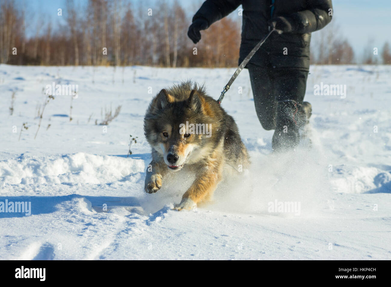 man runs with wolfdog on  leash in the snow Stock Photo