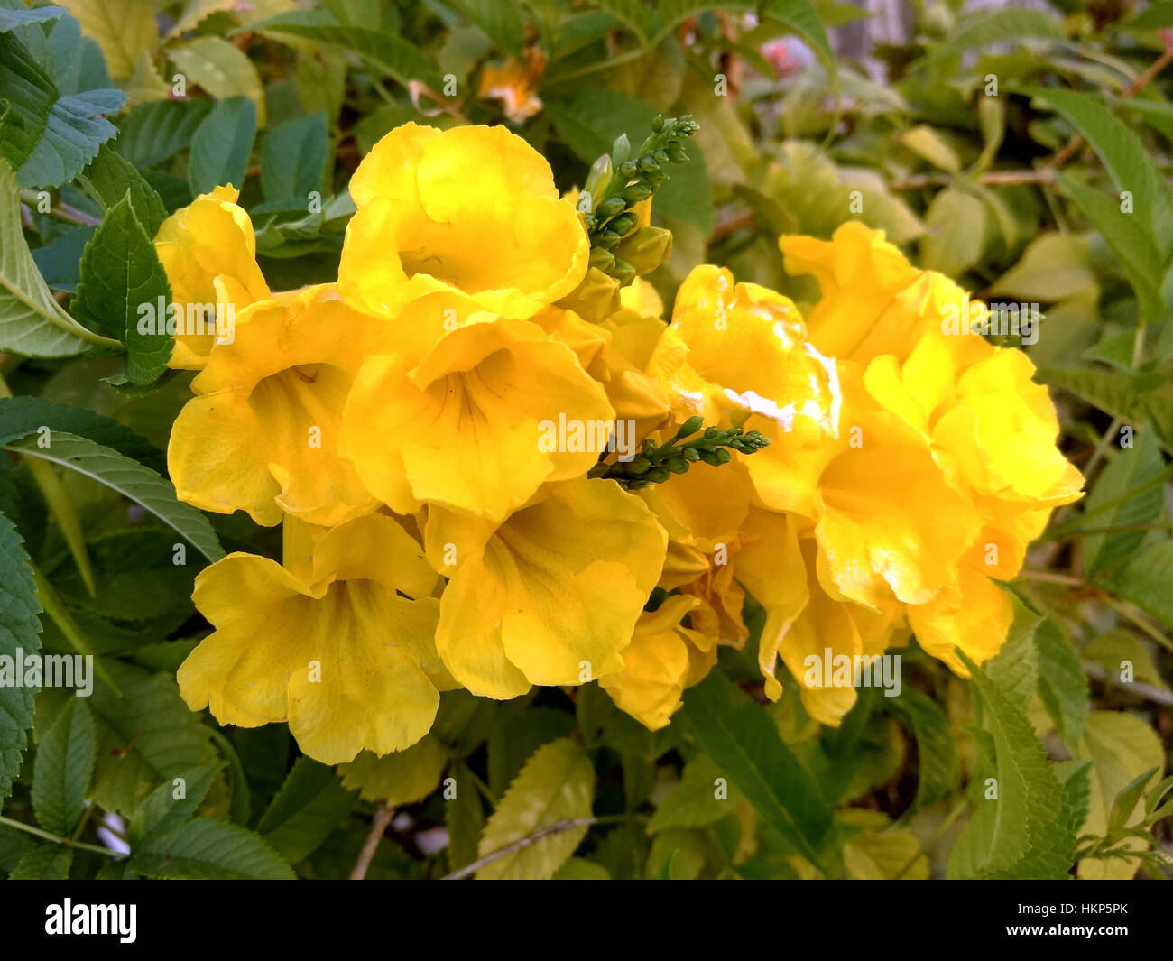 Yellow Garden Flowers With Five Petals Stock Photo 132638539 Alamy