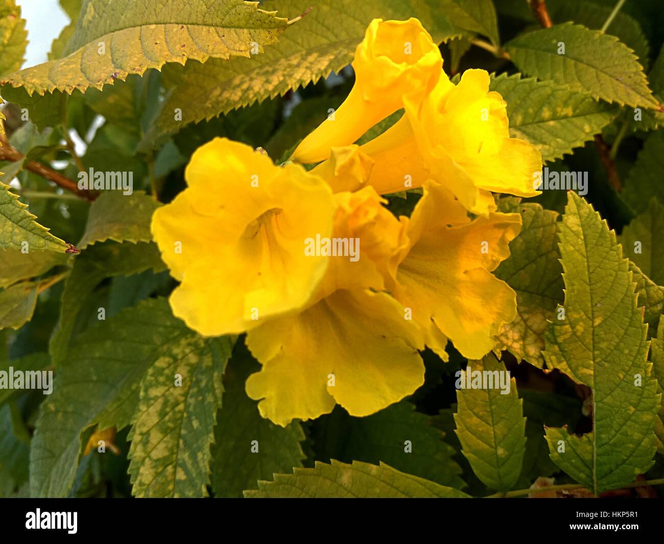 Yellow garden flowers with five petals stock photo 132638549 alamy yellow garden flowers with five petals mightylinksfo