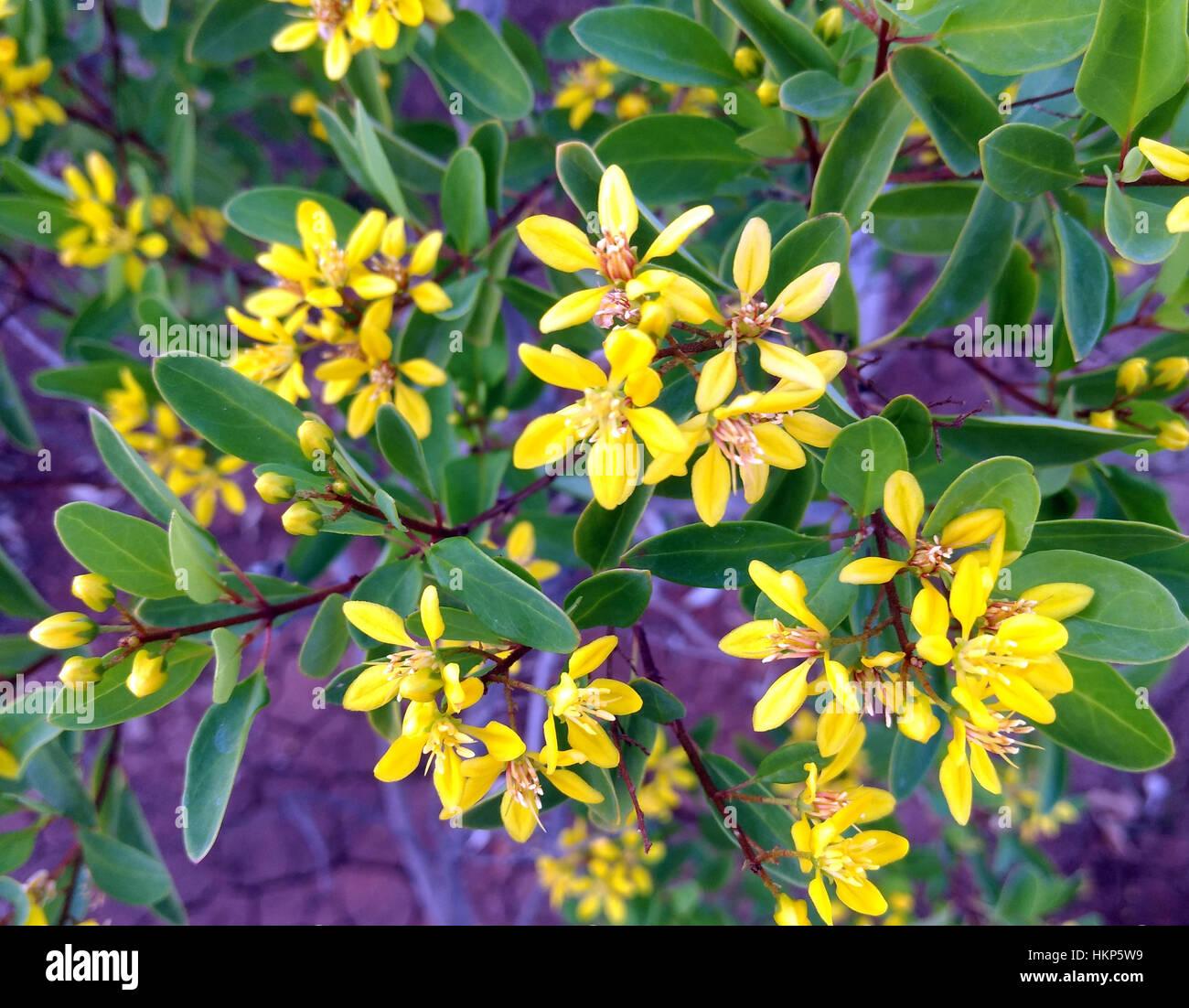Yellow garden flowers with five petals stock photo 132638613 alamy yellow garden flowers with five petals mightylinksfo