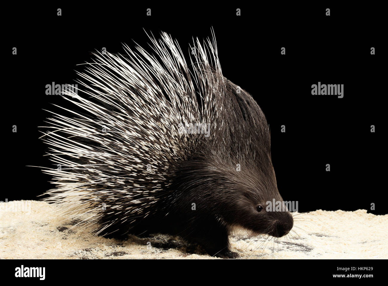 Porcupine isolated on black background - Stock Image