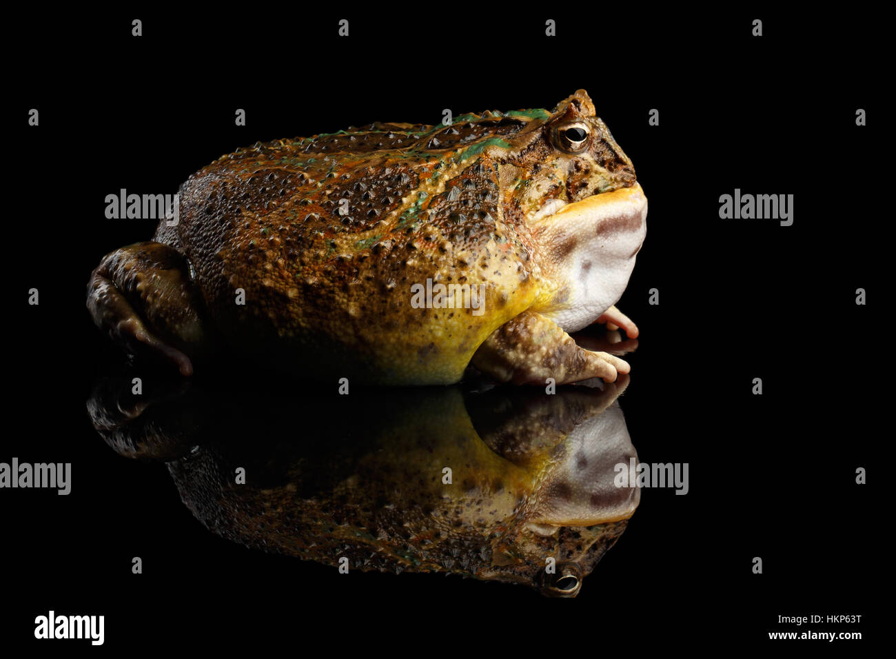 Argentine Horned Frog or Pac-man, Ceratophrys ornata - Stock Image