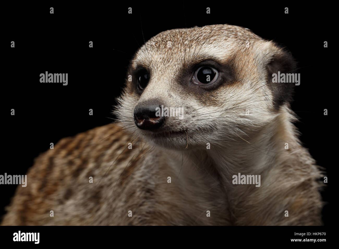 Meerkat isolated on black background - Stock Image
