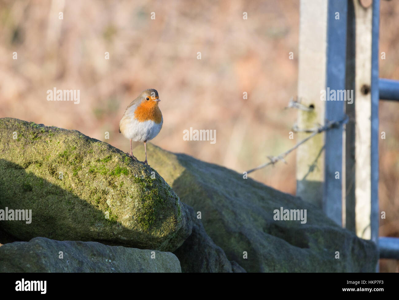 A robin stands on a dry stone wall. - Stock Image