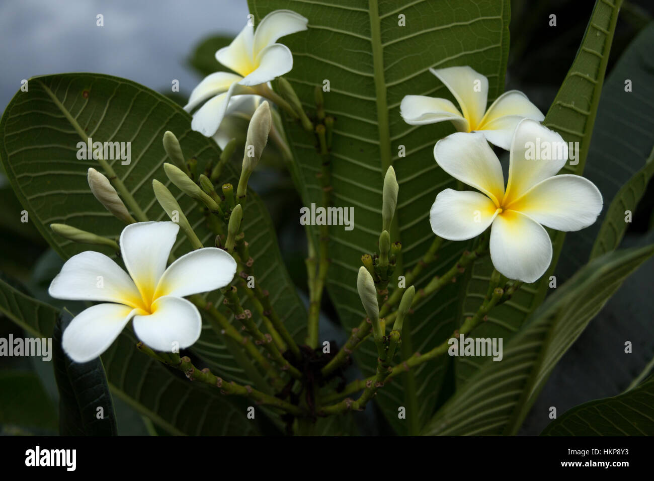 five petal white flowers frangipani ( plumeria ) with yellow center on the green leaf background close up selective - Stock Image