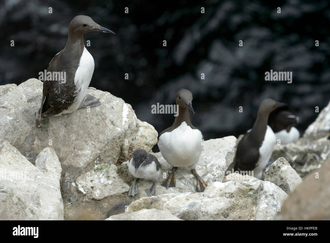 Common Guillemot (Uria aalge) adult mother with chick on coastal cliff at colony, Great Saltee, Saltee Islands, Stock Photo