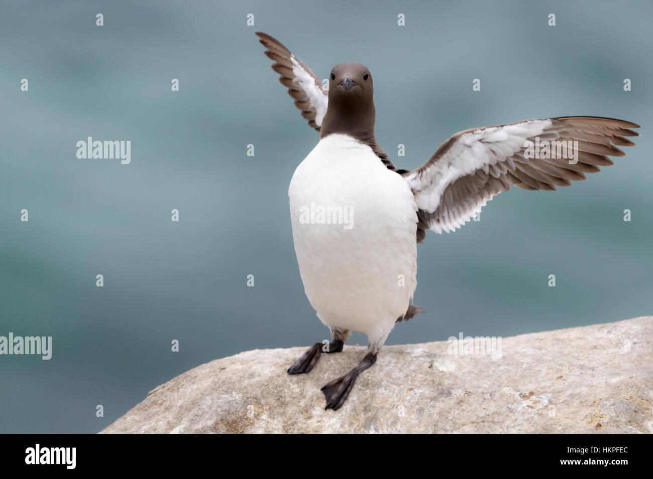 Common Guillemot (Uria aalge) adult, standing on coastal cliff, flapping wings, Great Saltee, Saltee Islands, Ireland - Stock Image