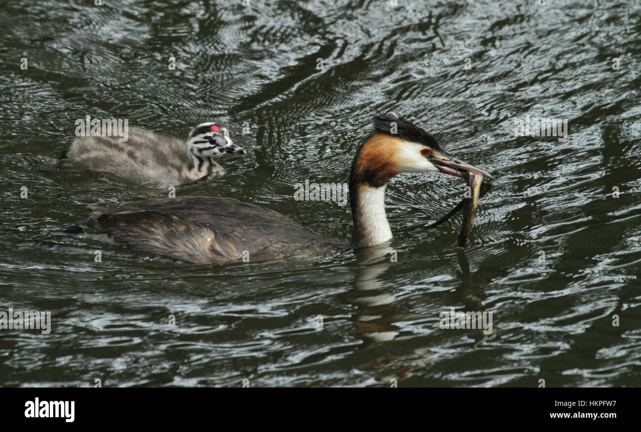 A stunning adult Great crested Grebe (Podiceps cristatus) with a fish in its bill which it has just caught for its - Stock Image