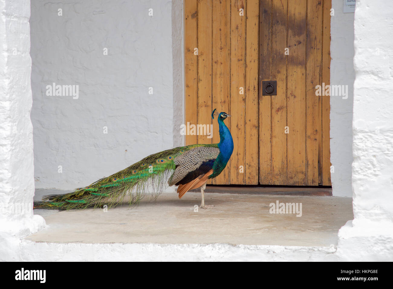Colourful blue peafowl standing on porch in profile with