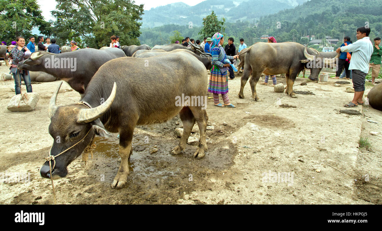 Water Buffaloes for sale, Can Cau farmers market,  Bac Ha. - Stock Image