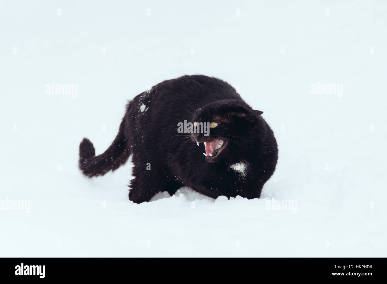 Angry Black cat on a snow - Stock Image