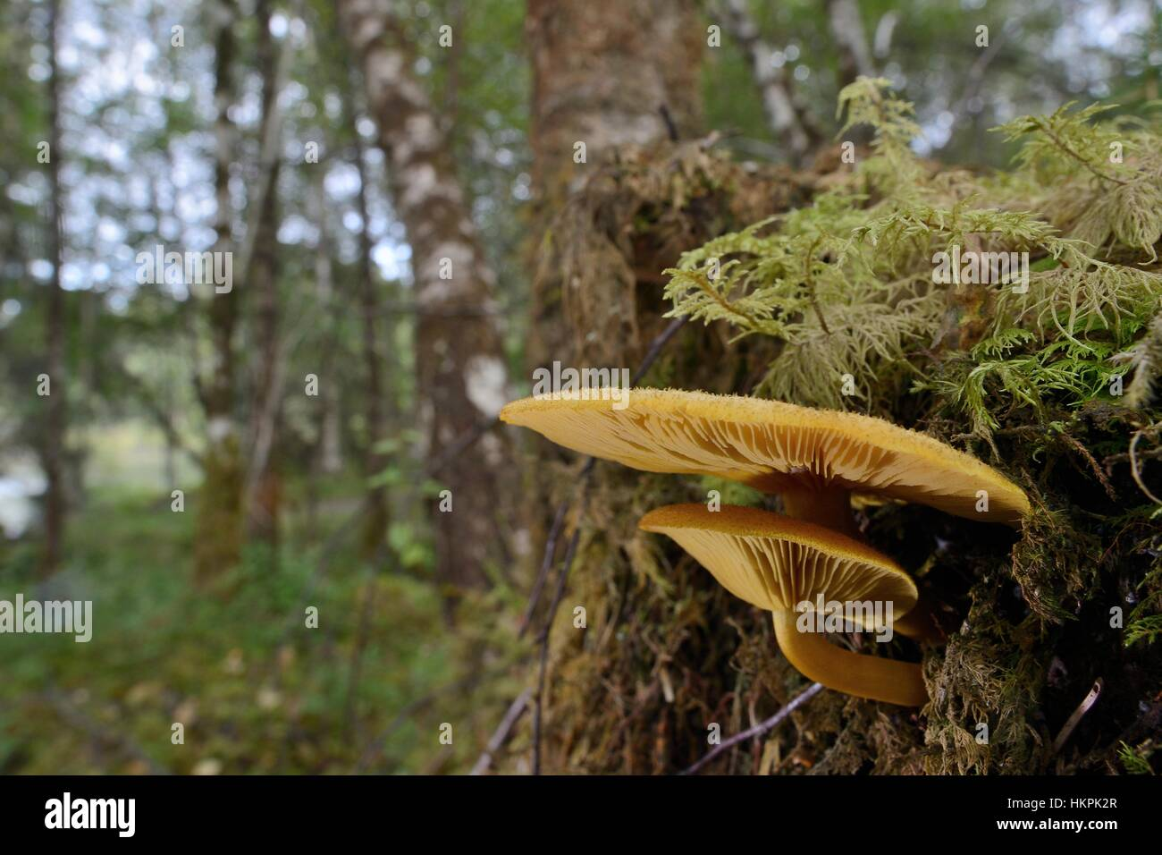 Prunes and custard (Tricholomopsis decora) mushrooms growing from a pine tree stump, Glengarry forest, Lochaber, - Stock Image