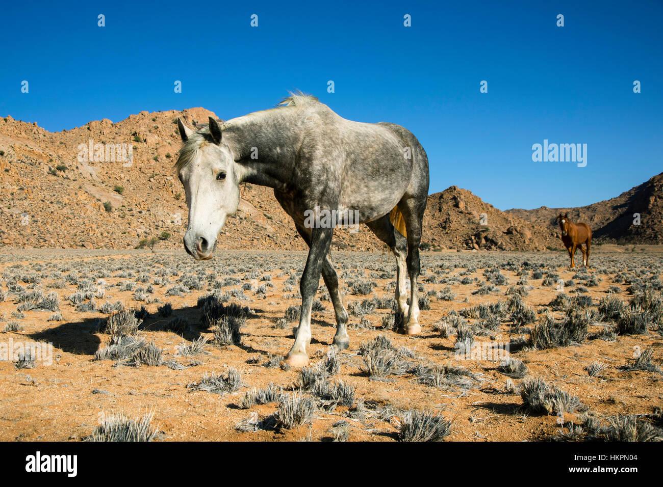 Wild Horses, Klein-Aus Vista Reserve, Namibia, Africa, by Monika Hrdinova/Dembinsky Photo Assoc - Stock Image