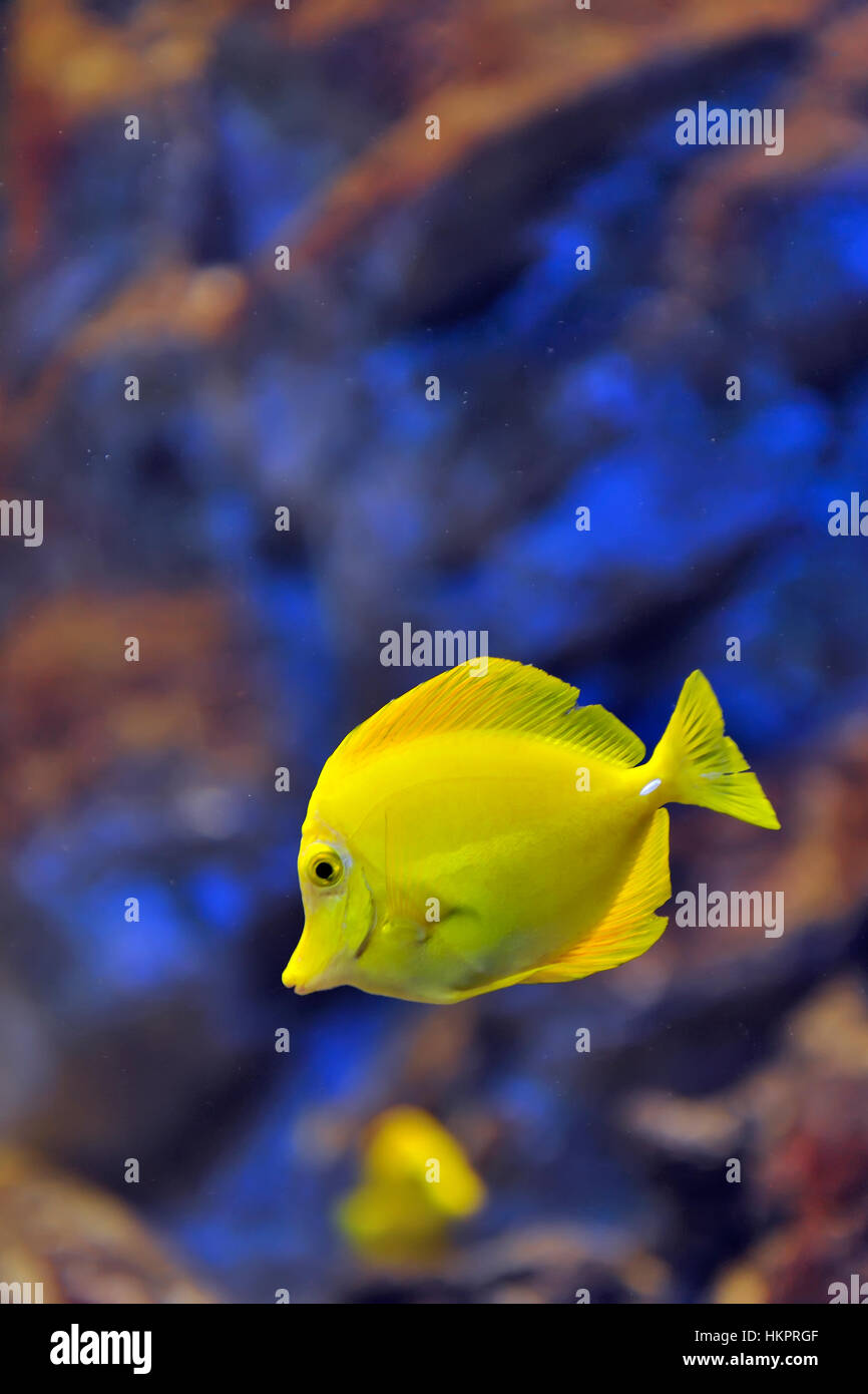 yellow tropical fish in water Stock Photo