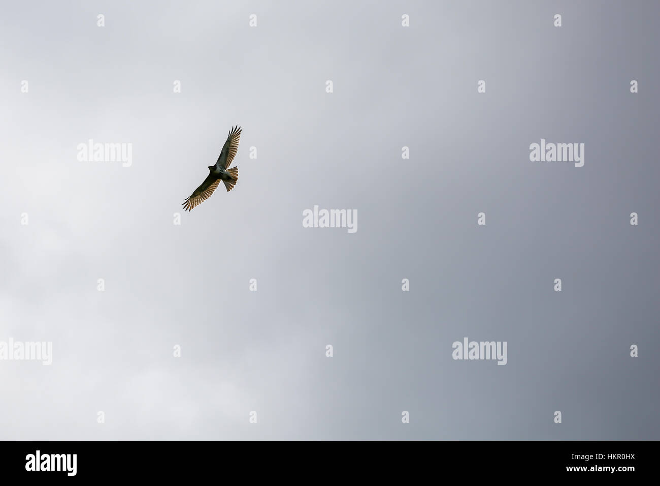 Red-tailed Hawk  (Buteo jamaicensis) soaring high in a gray sky. - Stock Image
