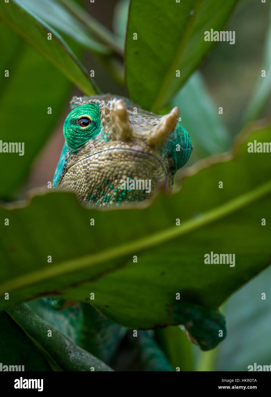 A Chameleon in rainforest of Madagascar , Andasibe Reserve. - Stock Image