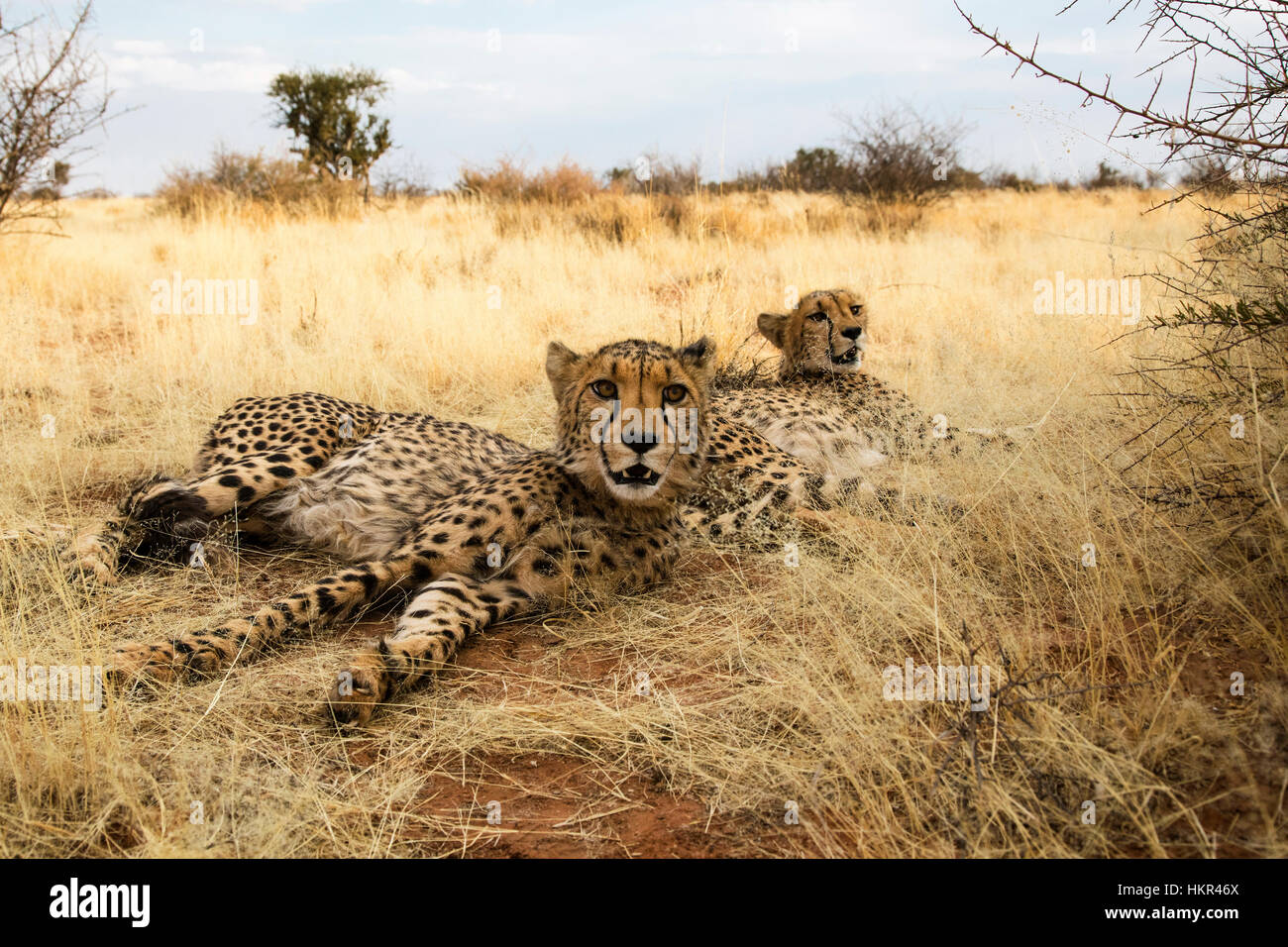 Pair of Cheetahs resting, Acinonyx jubatus, Lapa Lange Lodge, Namibia, Africa by Monika Hrdinova/Dembinsky Photo Stock Photo