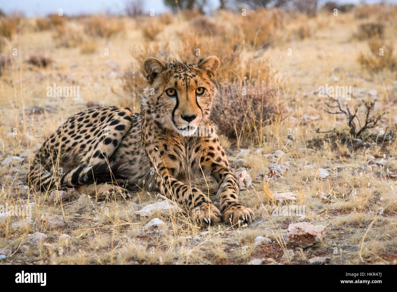 Cheetah at rest, Acinonyx jubatus, Lapa Lange Lodge, Namibia by Monika Hrdinova/Dembinsky Photo Assoc - Stock Image