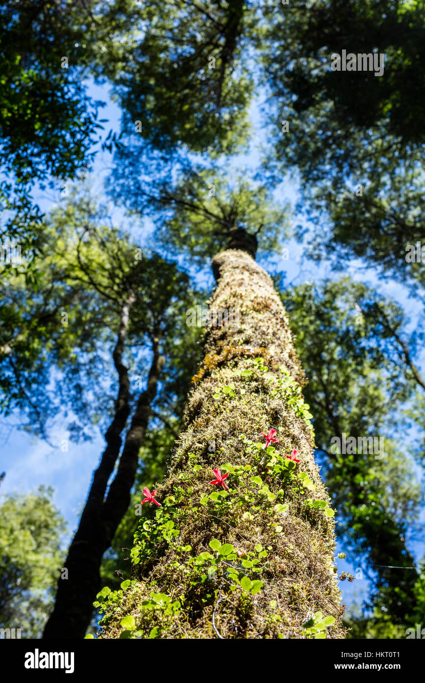 Fitzroya (Fitzroya cupressoides) tree in the temperate Chilean rainforest with wild flowers growing on its trunk - Stock Image