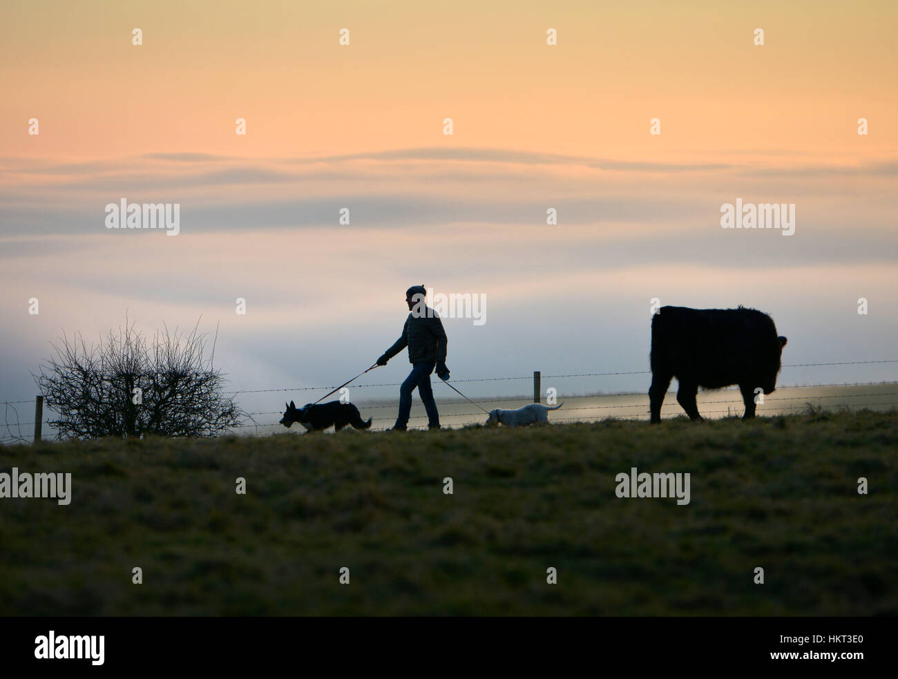 cattle on the South Downs near Devil's Dyke, East Sussex - Stock Image