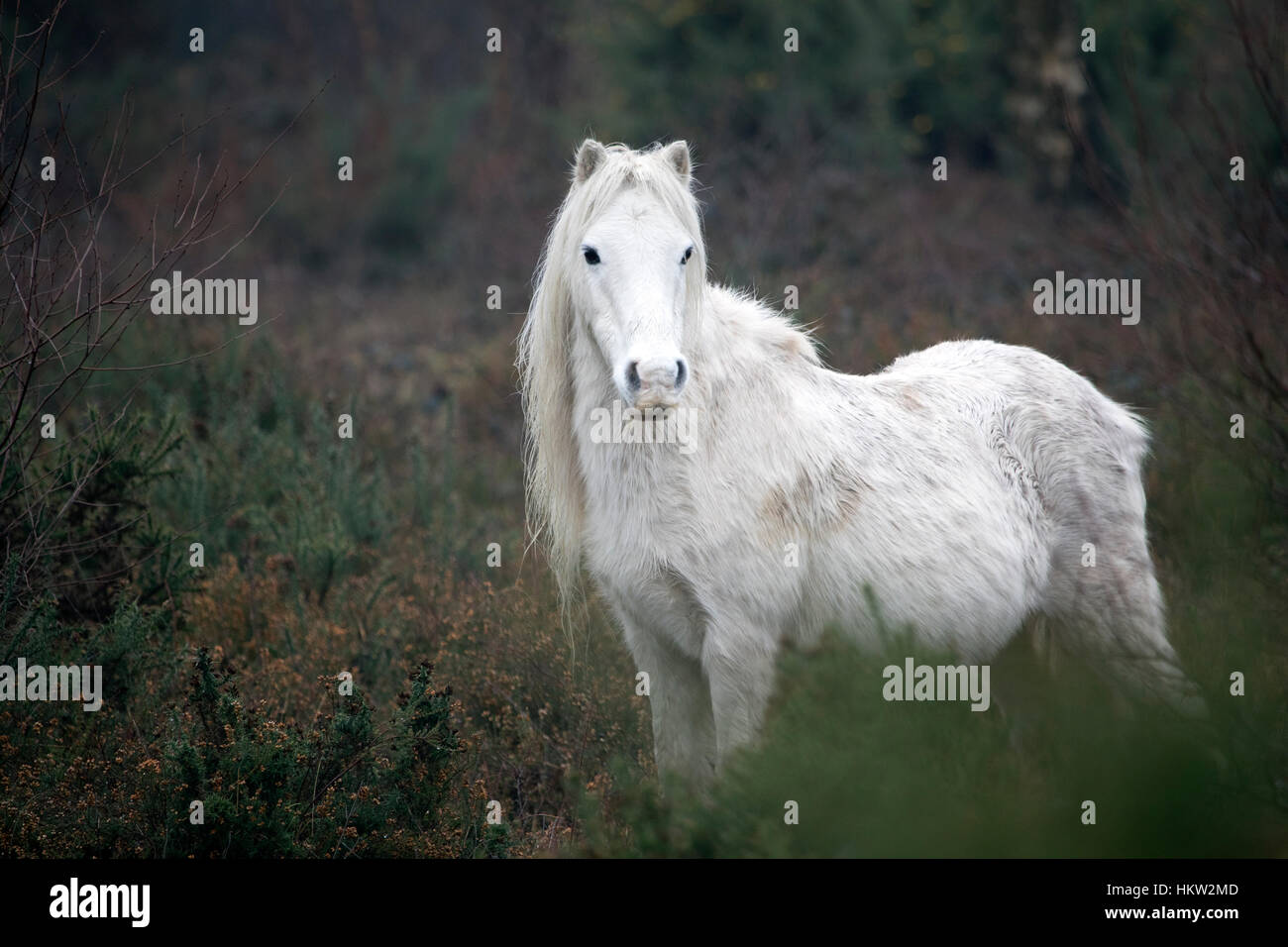 Flintshire, Wales, UK. 30th Jan, 2017. wild Welsh ponies accustomed to the damp foggy conditions in the foothills - Stock Image