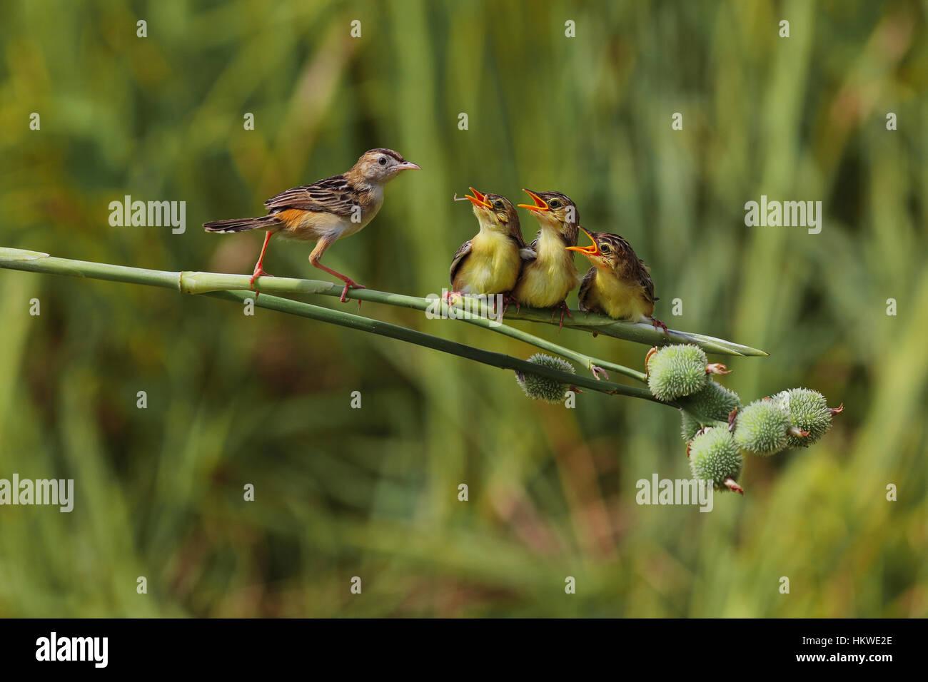 Motherhood of birds life - Stock Image