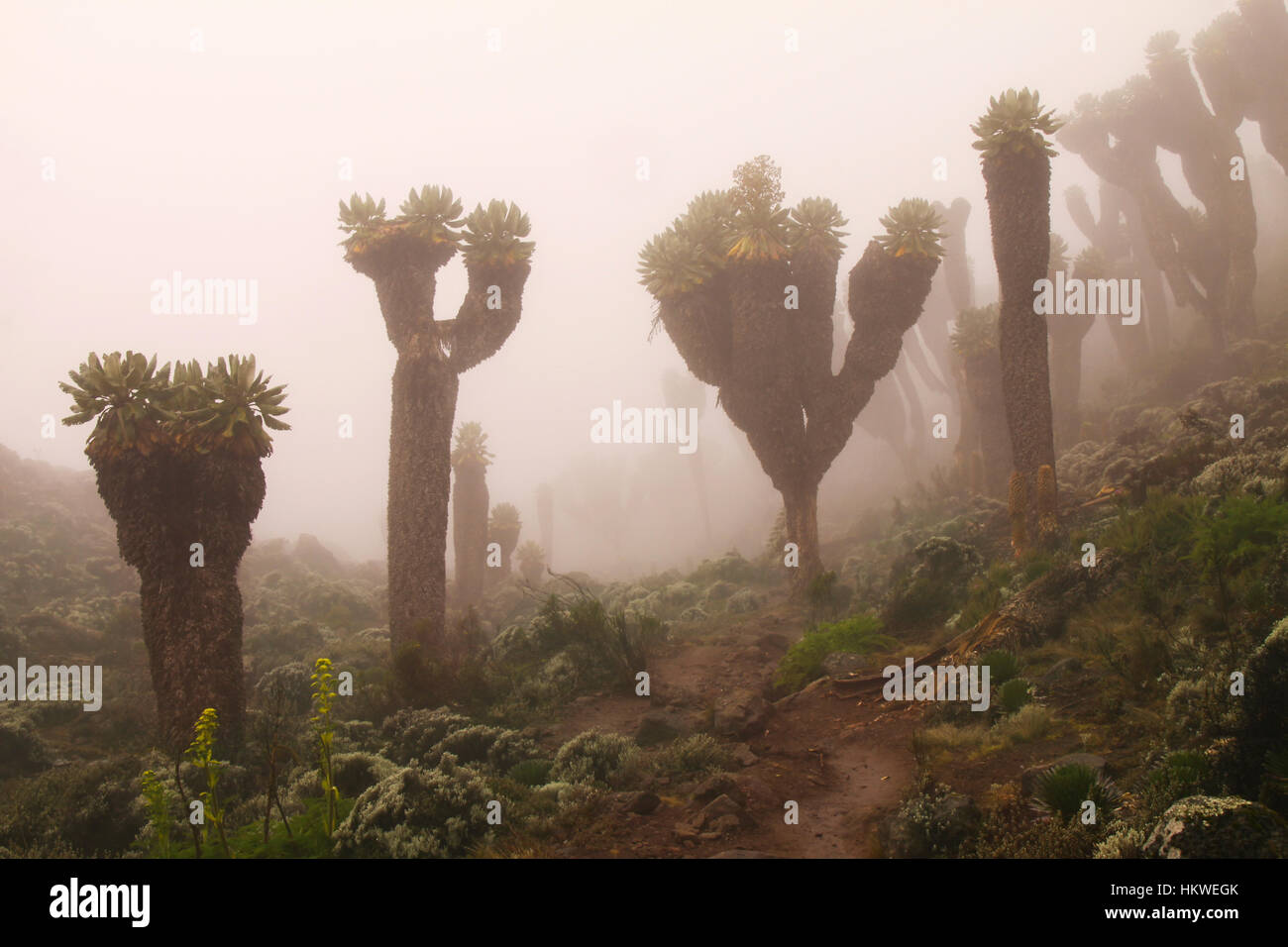 Senecios: Giant Groundsels in Mt. Kilimanjaro mist - Stock Image