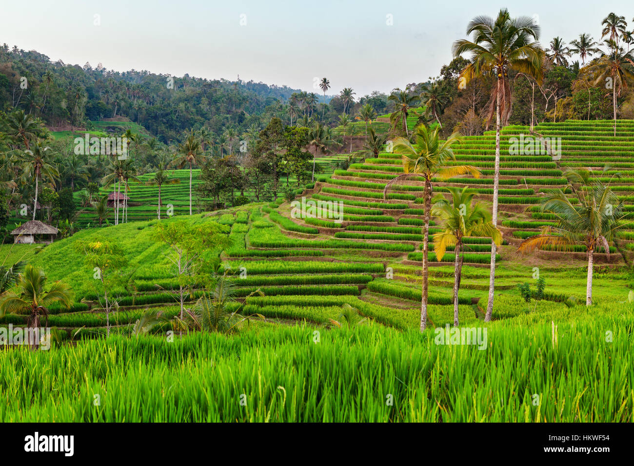 Beautiful view of green rice growing on field terraces. Asian backgrounds and  landscapes, people culture and nature - Stock Image