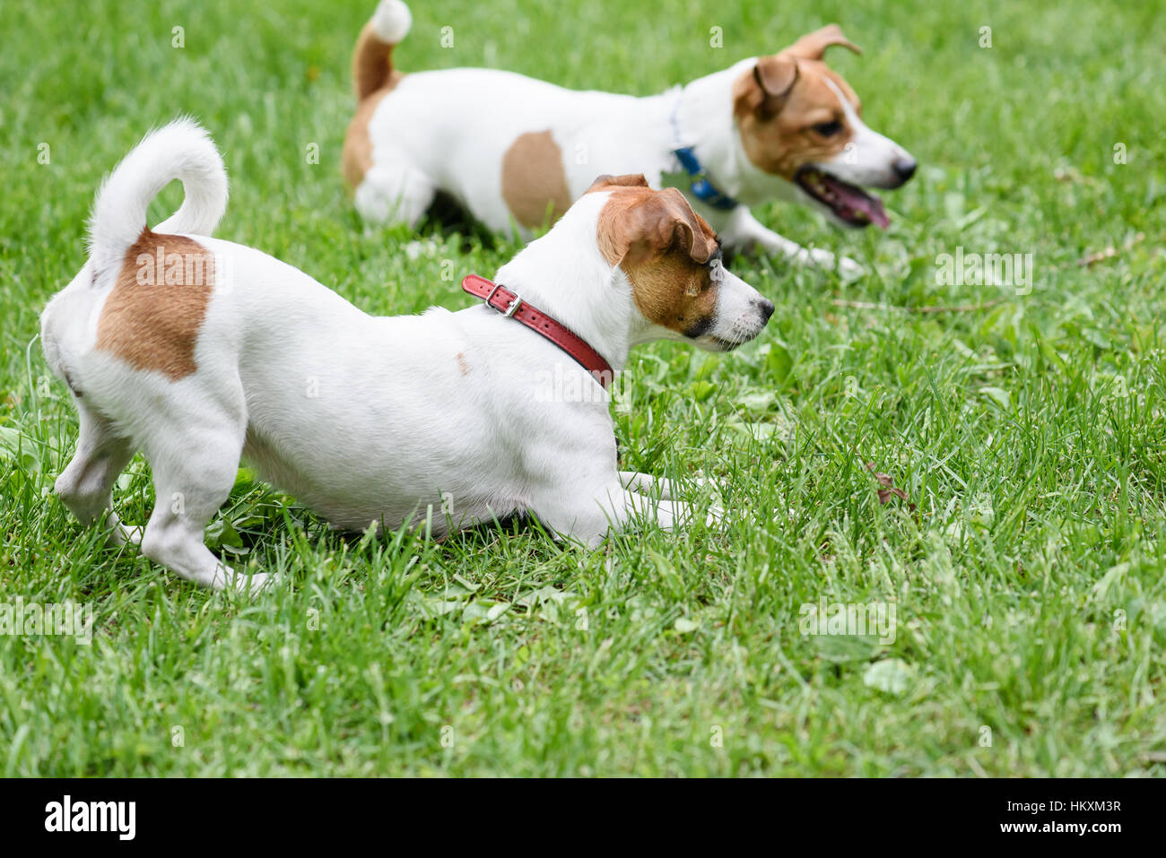 Two obedient dogs lying on grass by handler command - Stock Image