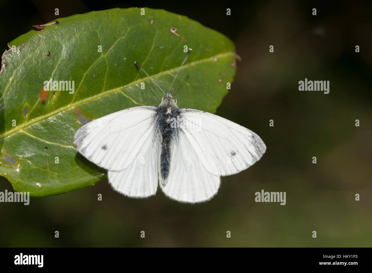 Green-veined white butterfly, Pieris napi, basking on leaf with wings open - Stock Image