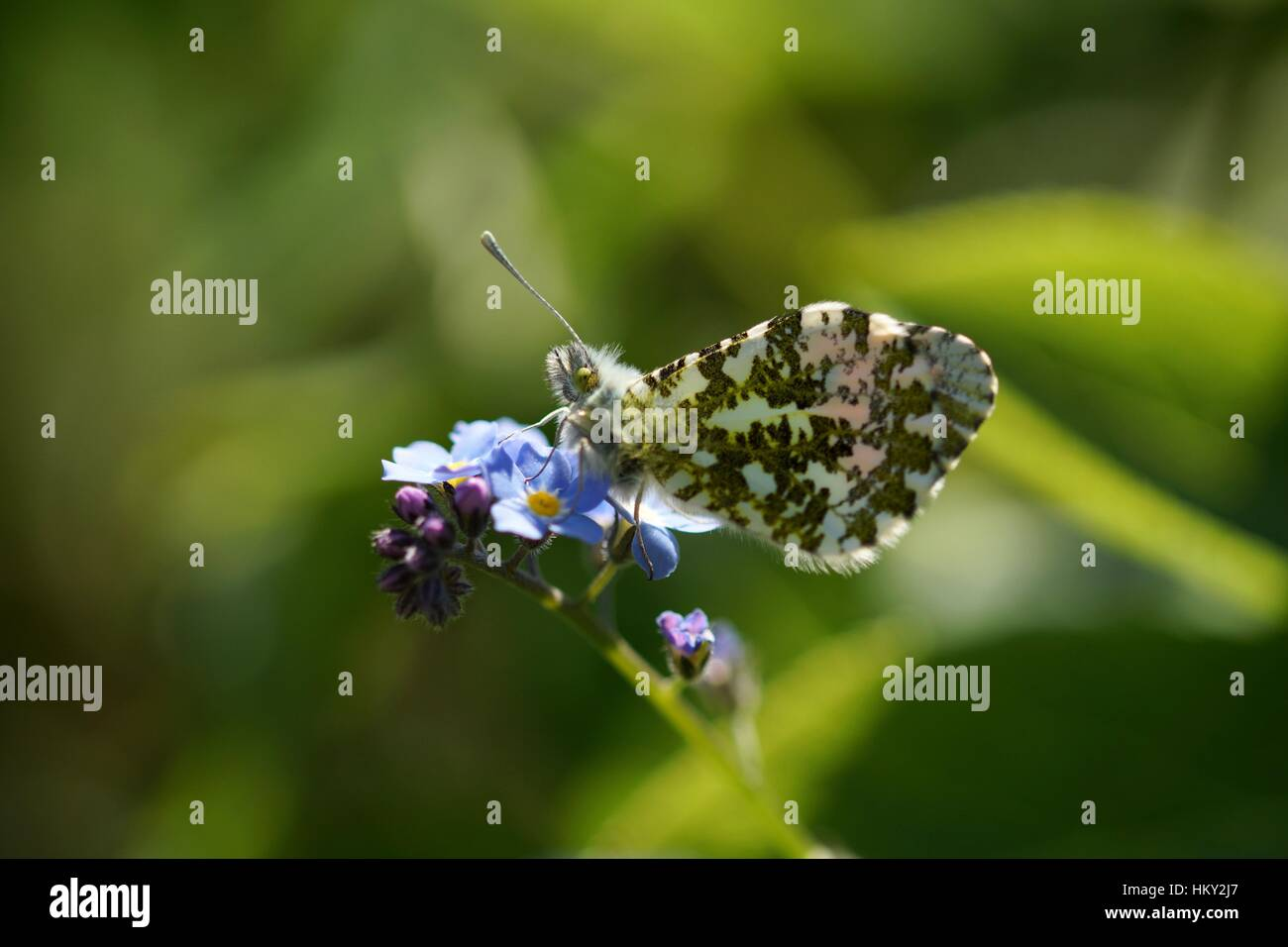 Small marbled white Butterfly on Forget me Not flowers - Stock Image