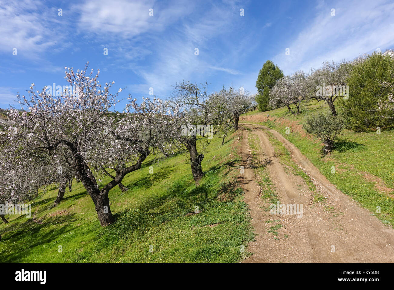 Andalusian countryside with blooming almond trees in january, Andalusia, Spain. - Stock Image