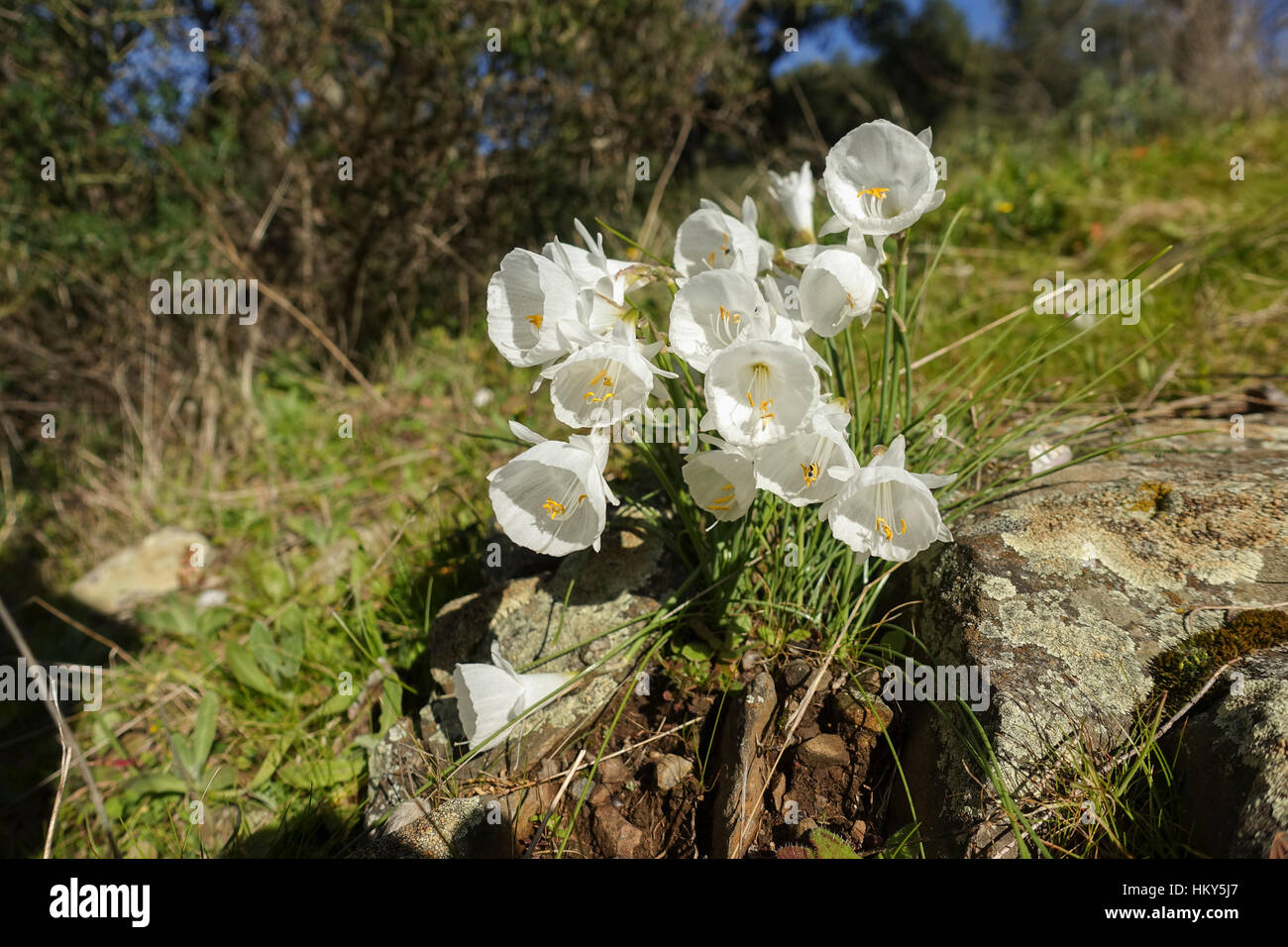 Narcissus cantabricus,White Hooped-Petticoat, flowering in winter in Andalusia, Spain - Stock Image