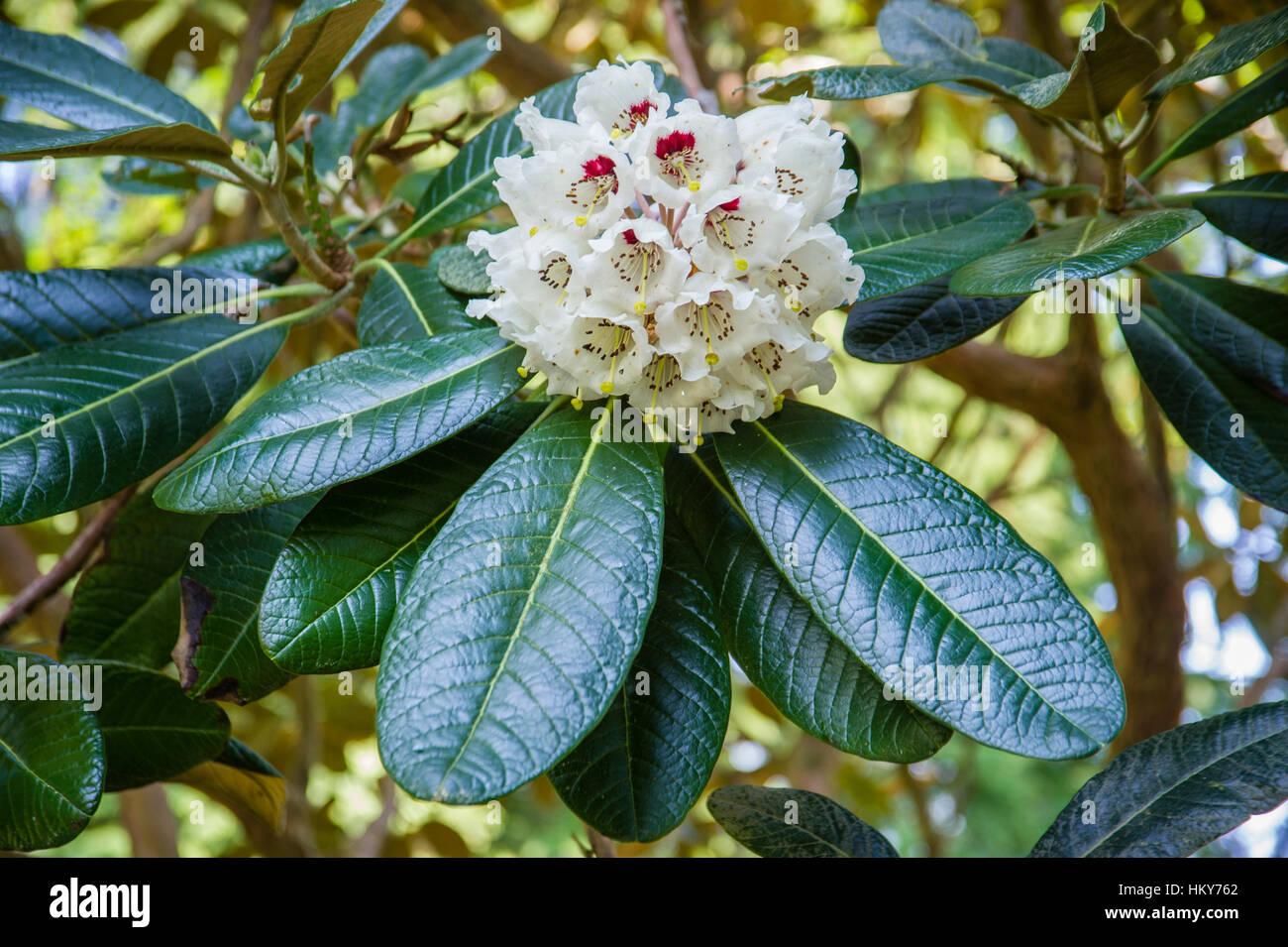 Rhododendron falconeri - Stock Image