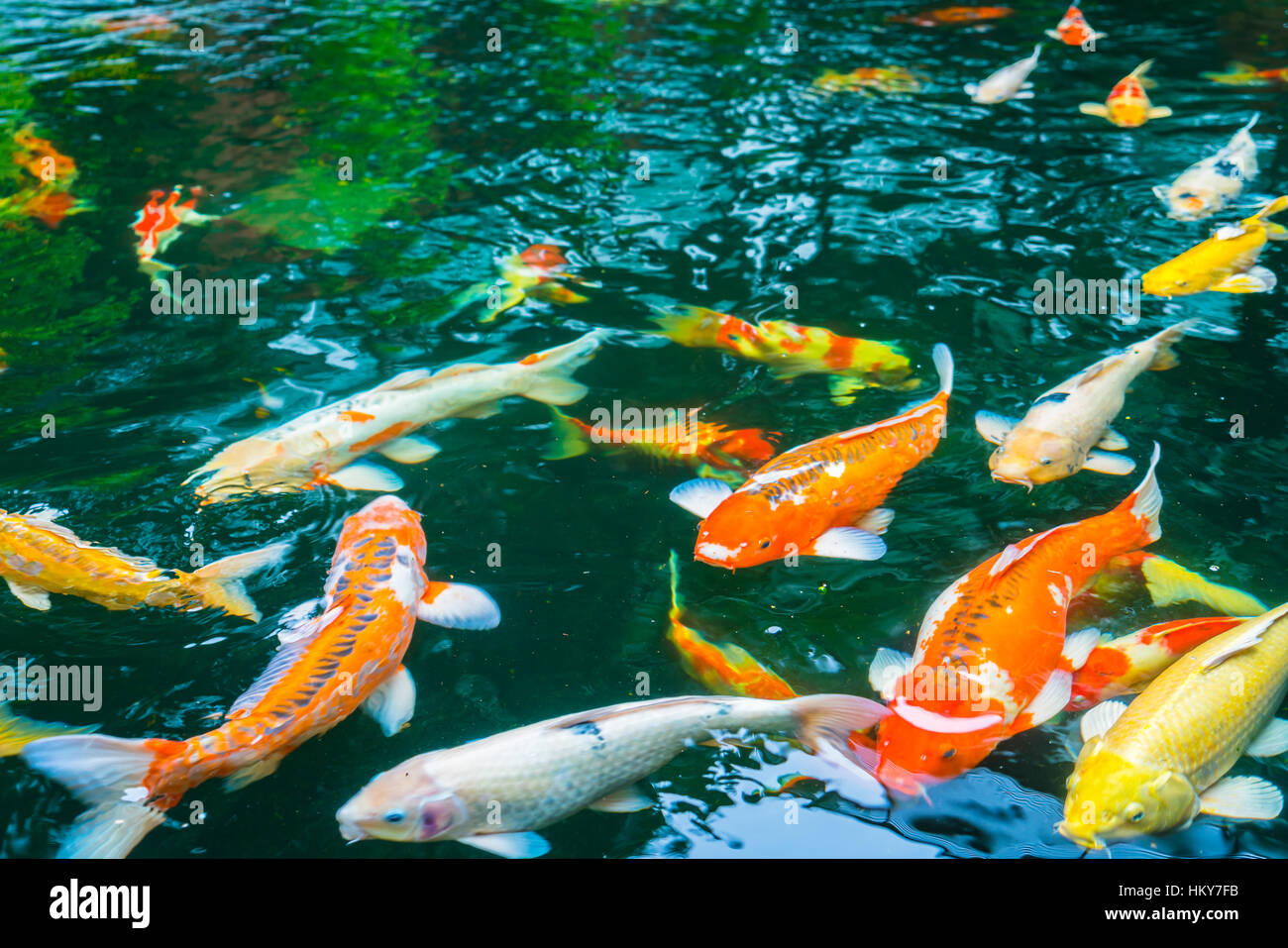 Colorful Koi fish swimming in water Stock Photo: 132749663 - Alamy