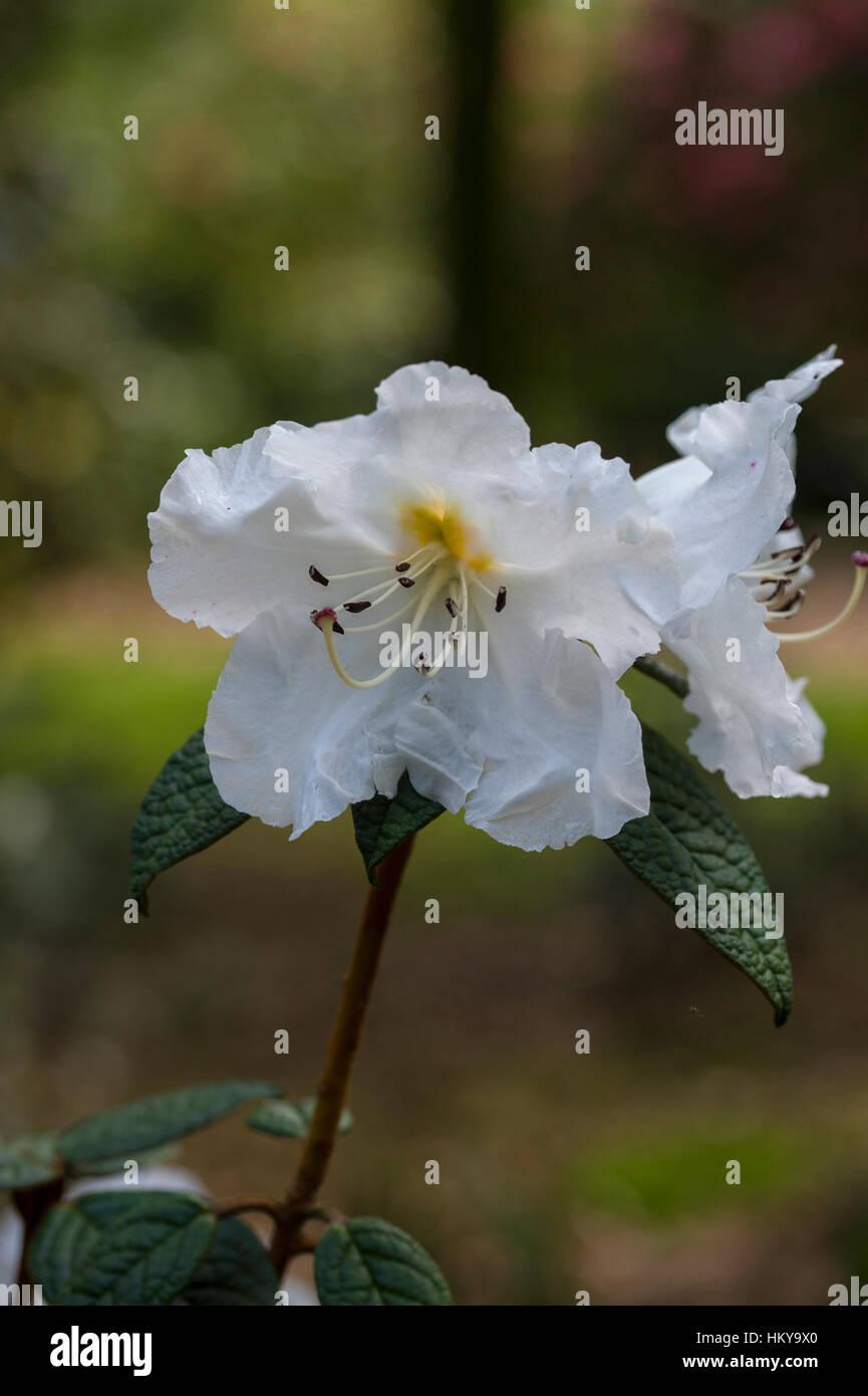 Rhododendron edgeworthii - Stock Image