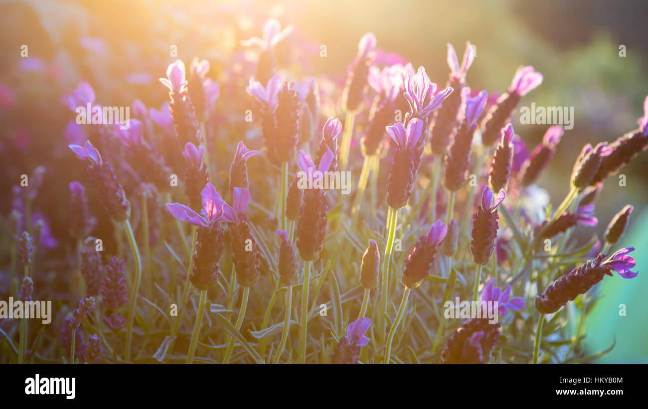 A sunny lavender field Stock Photo