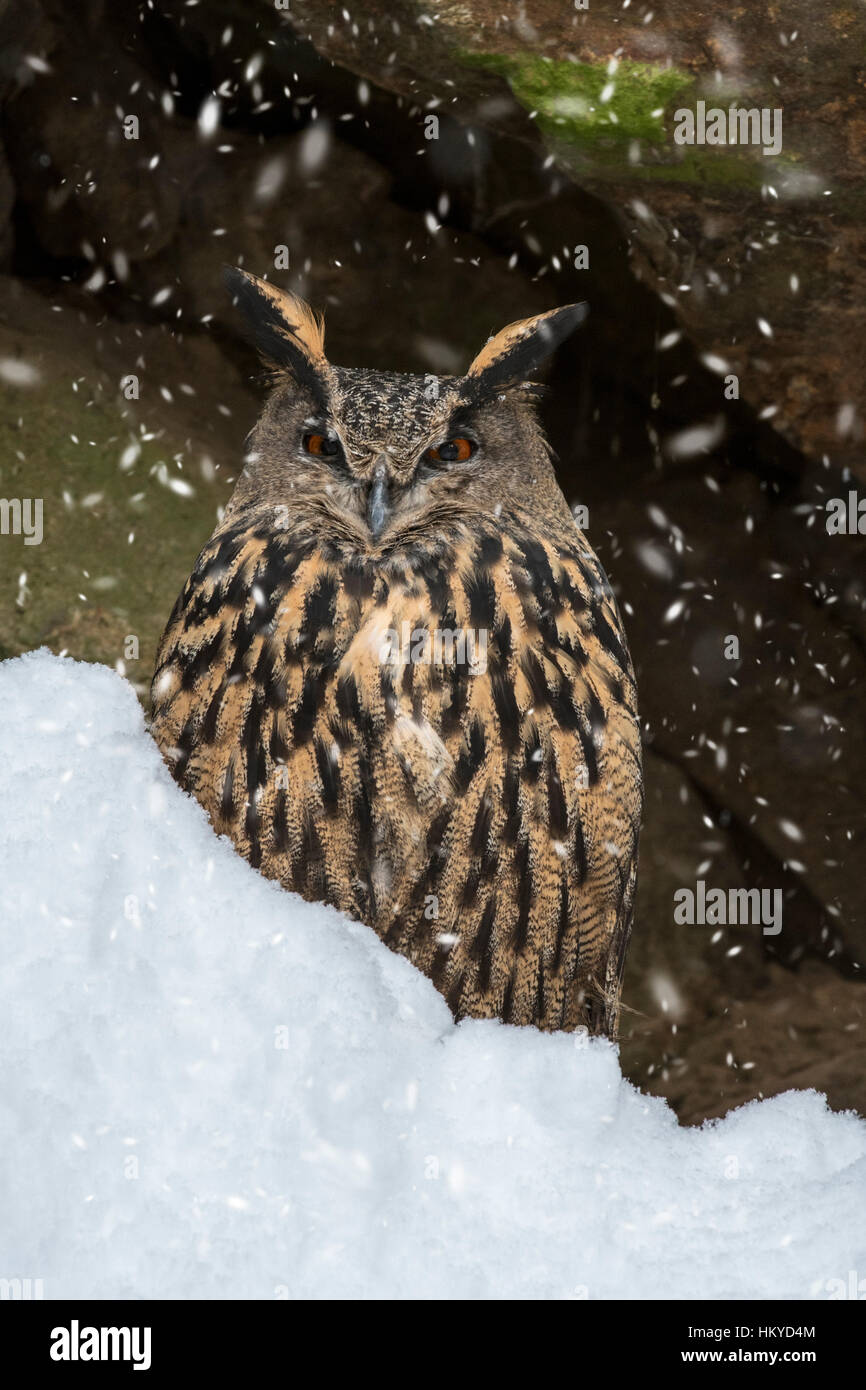 Eurasian eagle owl (Bubo bubo) sitting on rock ledge in cliff face during snow shower in winter - Stock Image