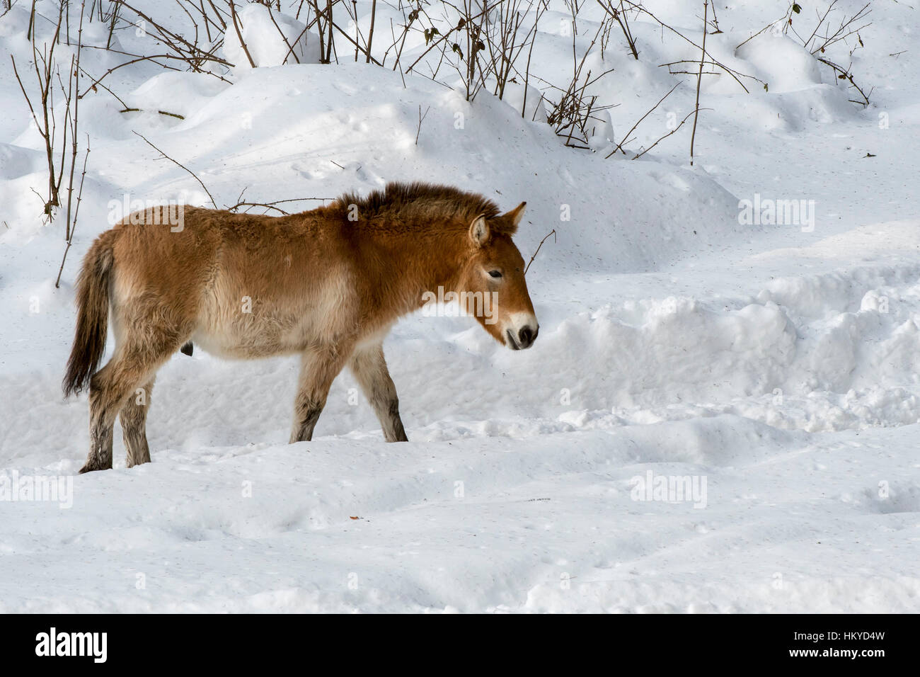 Przewalski horse (Equus ferus przewalskii) native to the steppes of Mongolia, central Asia in the snow in winter - Stock Image