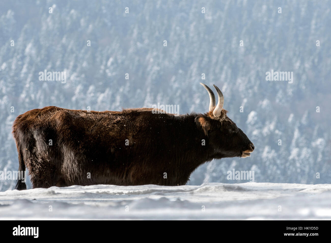Heck cattle (Bos domesticus) cow in the snow in winter. Attempt to breed back the extinct aurochs (Bos primigenius) - Stock Image