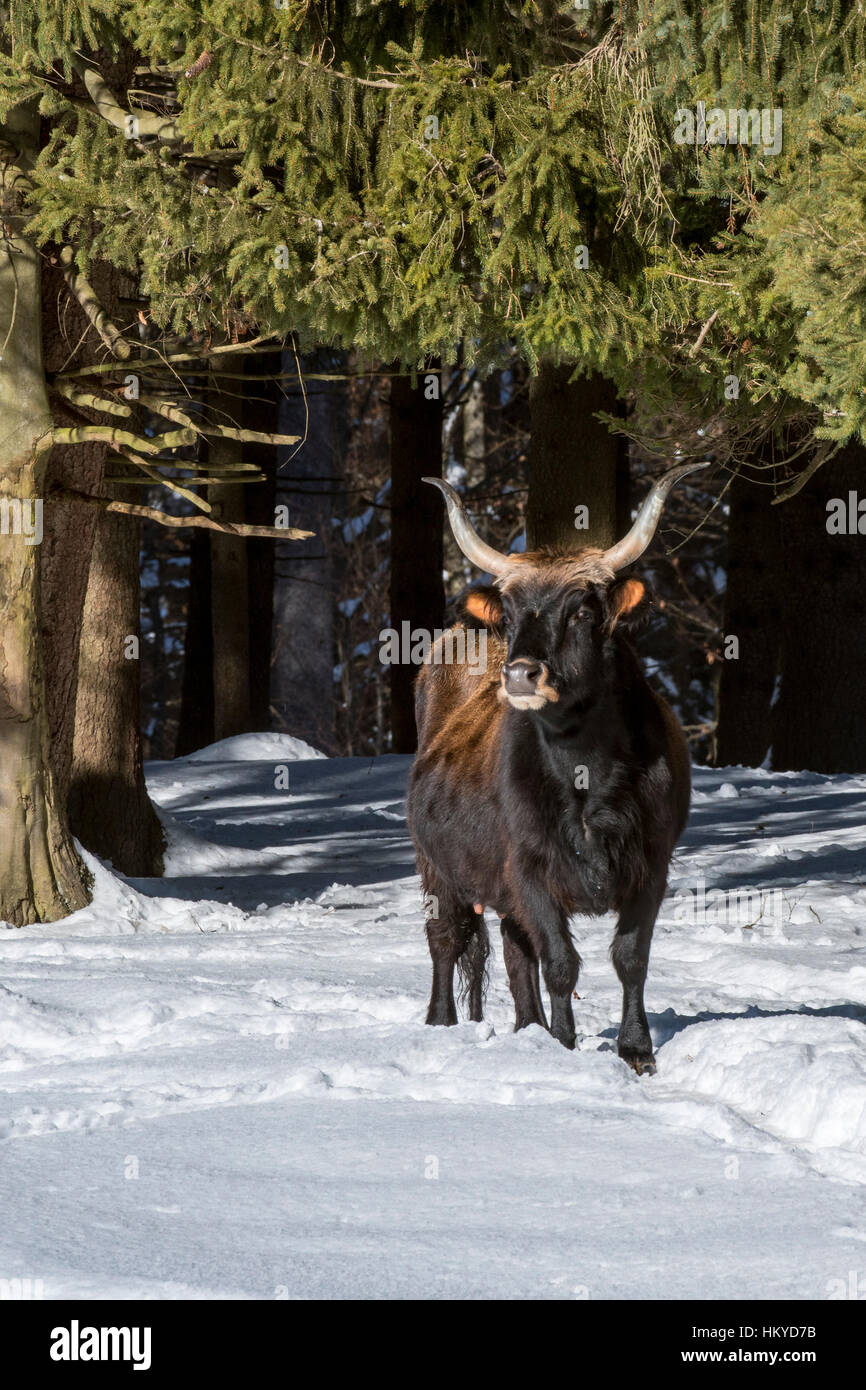 Heck cattle (Bos domesticus) in the snow in winter. Attempt to breed back the extinct aurochs (Bos primigenius) - Stock Image